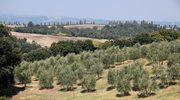 Włochy: Zagadkowa epidemia w gajach oliwnych
