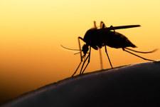 Włosi testują nowatorski środek na komary