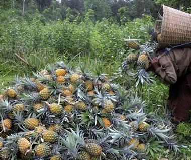 Wojna o tajwańskie ananasy