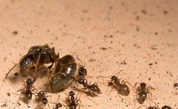 Wojny dynastyczne mrówek