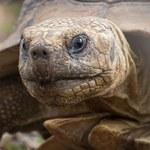 Wolontariusze uratowali tysiące wychłodzonych żółwi