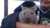 Wombat nowym pracownikiem australijskiego komisariatu policji