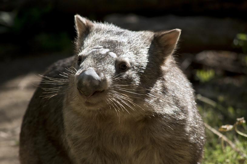Wombat, zdjęcie ilustracyjne /Susan Flashman /123RF/PICSEL