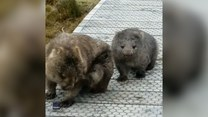Wombaty zablokowały szlak turystyczny. Musiały się podrapać