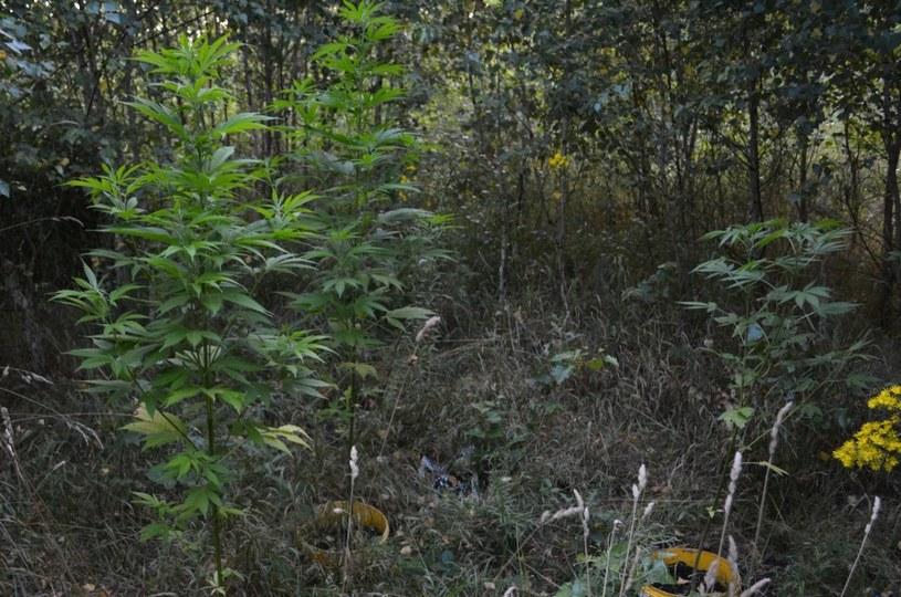 Wpadli w ręce policji podczas podlewania konopi w lesie (Źródło: KPP Krotoszyn) /Policja