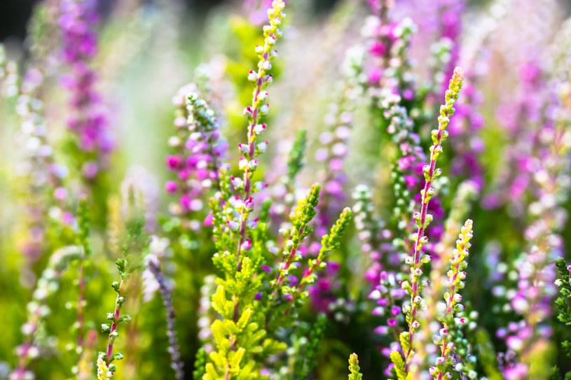 Wrzosy, aby pięknie kwitnąć, potrzebują kwaśnego podłoża /123RF/PICSEL