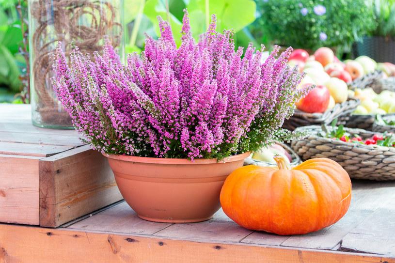 Wrzosy będą wspaniałą ozdobą ogrodu przez całą jesień