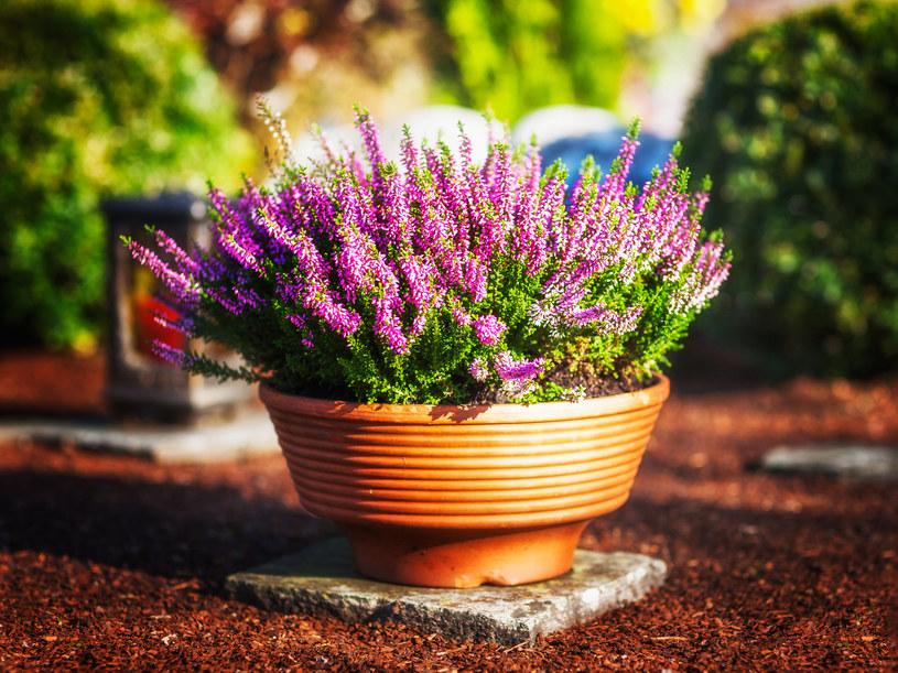 Wrzosy są coraz częściej wybierane jako kwiaty na grób /123RF/PICSEL
