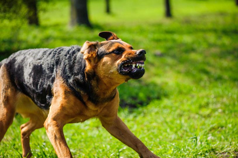 Wścieklizna to groźna choroba zakaźna zwierząt przenoszona na ludzi /INTERIA.PL
