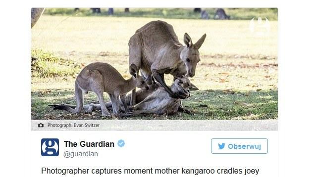 """""""Wsparł głowę kangurzycy, tak jakby chciał, żeby jeszcze przed śmiercią mogła popatrzeć na swoje dziecko"""" /&nbsp"""