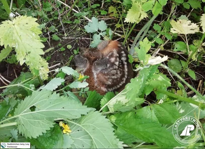 Wśród traw leśniczy znalazł dwa małe koźlątka /Nadleśnictwo-Jamy-Lasy-Państwowe /Interia/ Facebook