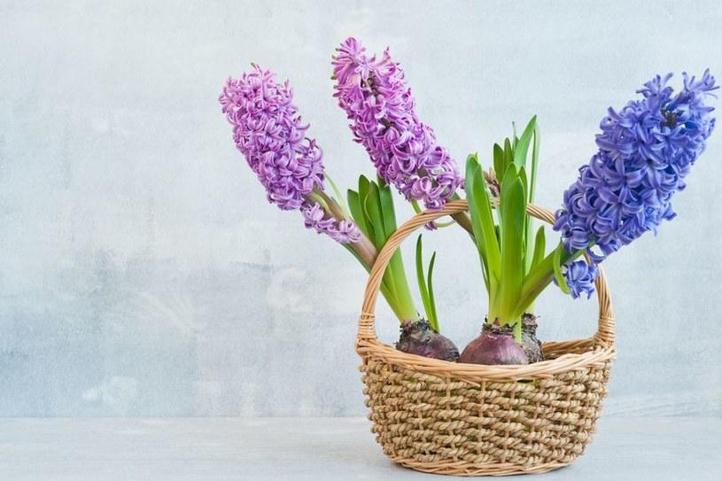 Wstaw je go koszyka lub ładnej osłonki a pięknie ozdobią twój dom /123RF/PICSEL