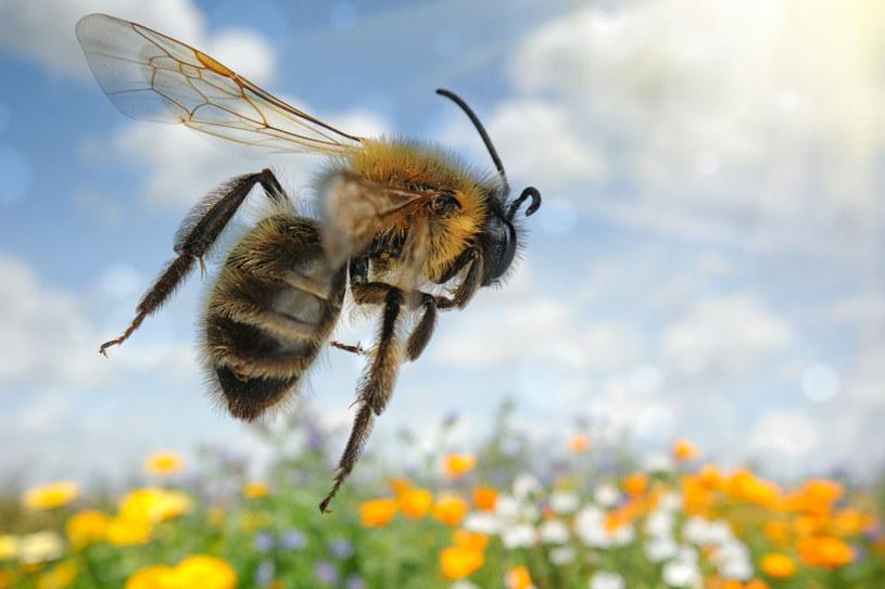 Wstrząs anafilaktyczny może być następstwem po użądlenia owadów (pszczół, os, szerszeni), a także zjedzenia niektórych produktów (m.in. orzeszków ziemnych, maku) /123RF/PICSEL