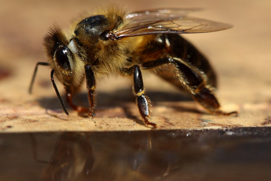 Wstrząs anafilaktyczny może wywołać m.in. ukąszenie pszczoły /Tomasz Wojtasik /PAP