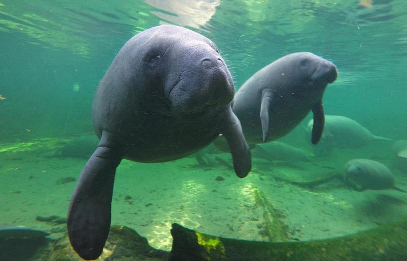 Wszystkie gatunki manatów niestety zagrożone są wymarciem / Orlando Sentinel / Contributor /Getty Images