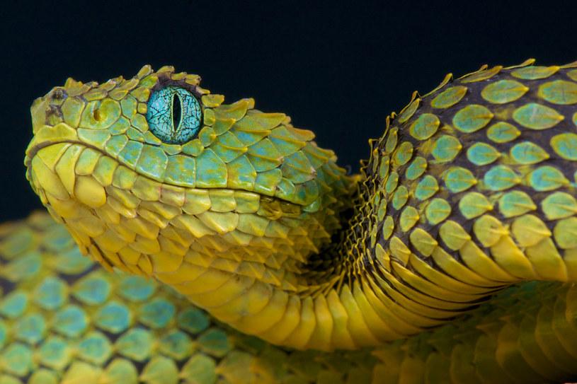 Wszystkie współczesne węże i żmije wywodzą się z kilku gatunków przetrwałych uderzenie asteroidy /123RF/PICSEL