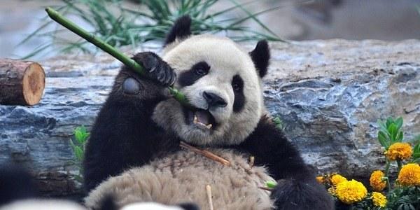 Wybieg dla pandy jest główną atrakcją dla sportowców zwiedzających zoo /INTERIA.PL/PAP