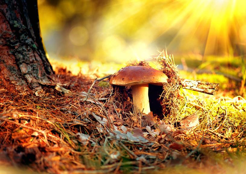 Wybierasz się na grzyby? Uważaj na to niebezpieczeństwo. /123RF/PICSEL