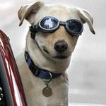 Wybierasz się w podróż z psem, kotem lub fretką?