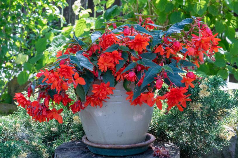 Wybierz odpowiednią donicę dla rośliny /123RF/PICSEL