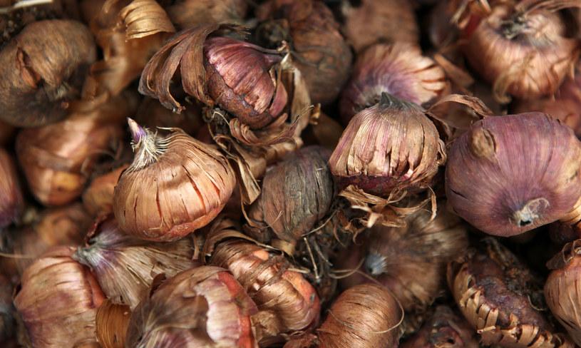 Wybór zdrowej cebuli, to gwarancja dorodnej rośliny /123RF/PICSEL