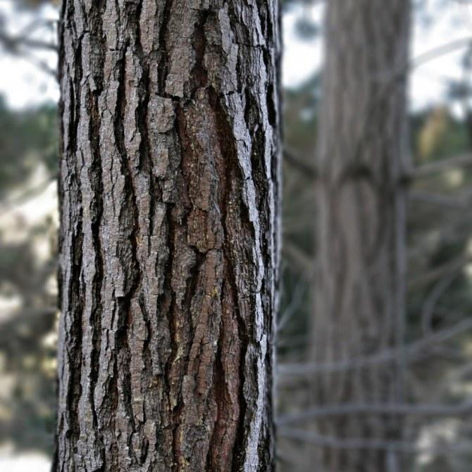 Wyciąg z kory sosny na hemoroidy /© Photogenica