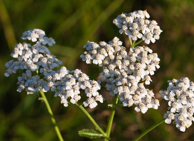 Wyciąg z kwiatów krwawnika sprawdza się w leczeniu różnych dolegliwości przewodu pokarmowego /123RF/PICSEL