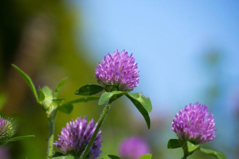 Wyciągi z kwiatów i ziela regulują apetyt i stymulują procesy metaboliczne /123RF/PICSEL