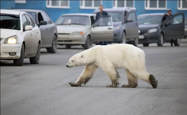 Wycieńczony z głodu niedźwiedź polarny zawędrował na Syberię. Setki kilometrów od domu