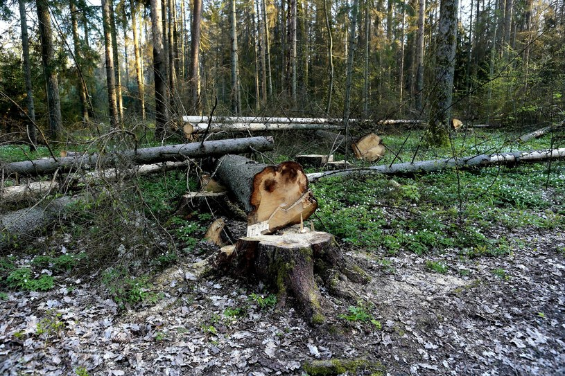 Wycięte drzewa w Puszczy Białowieskiej/ zdj. ilustracyjne /Adam Jankowski /Reporter