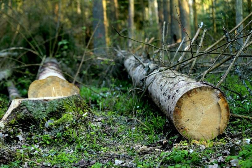 Wycięte drzewa w Puszczy Białowieskiej /Adam Jankowski /Reporter