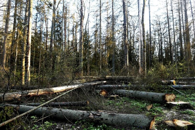 Wycięte drzewa w Puszczy Białowieskiej / Adam Jankowski/REPORTER /Reporter