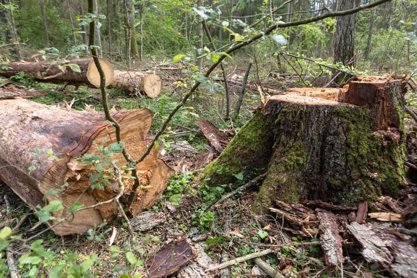 Wycinka drzew w Puszczy Białowieskiej /Michal Wende /Reporter