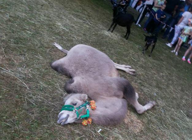 Wyczerpany wielbłąd na festynie Wiosna nad Nysą w Gubinie /facebook.com