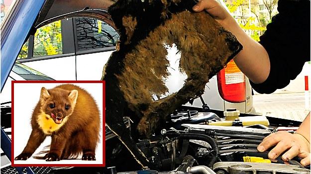 Wygryzione wygłuszenie w komorze silnika w Renault Lagunie. Koszt: prawie 300 zł. /Motor