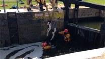 Wyjątkowa akcja ratunkowa dla trzydniowego źrebaka