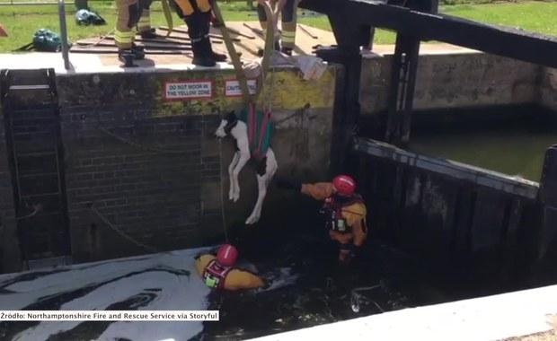 Wyjątkowa akcja ratunkowa trzydniowego źrebaka