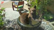 Wyjrzał za okno i zamarł. Niedźwiadki siedziały w przydomowej fontannie