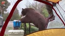 Wyjrzeli za namiotu, a tam... olbrzym buszuje w zapasach