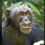 Wykryto trąd u szympansów - pierwszy przypadek w historii