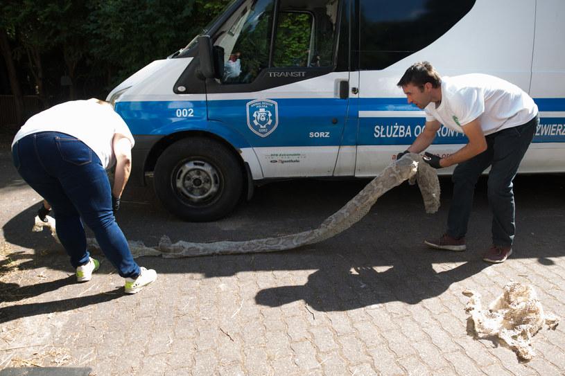 Wylinka pytona znalezionego w okolicach Konstancina-Jeziorny /Mateusz Włodarczyk /FORUM