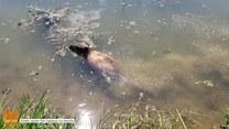 Wymarzone wakacje kapibary