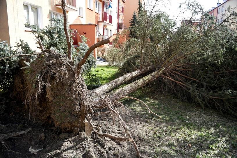 Wyrwane z korzeniami drzewo w Sanoku. Minionej nocy w związku z wichurami straż pożarna interweniowała na Podkarpaciu ponad 200 razy /Darek Delmanowicz /PAP