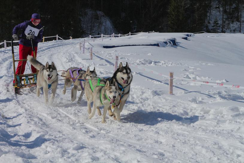 Wyścigi psich zaprzęgów /123RF/PICSEL