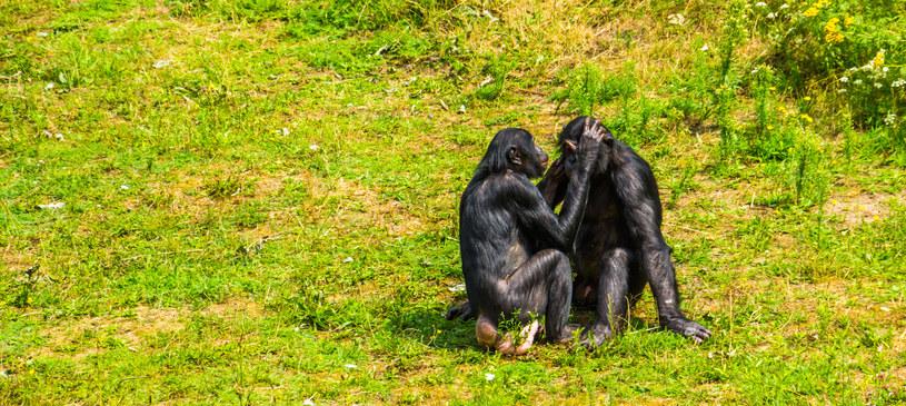 """Wysoki poziom empatii wśród bonobo sprawia, że zwierzęta wzajemnie """"wyczesują"""" sobie brud z sierści /123RF/PICSEL"""