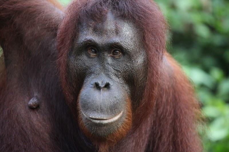 Wyspa to jedno z niewielu miejsc na Ziemi, gdzie na wolności wciąż żyją orangutany /Tadeusz Biedzki /INTERIA.PL