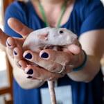 Wystawa Szczurów Rodowodowych w Pruszkowie