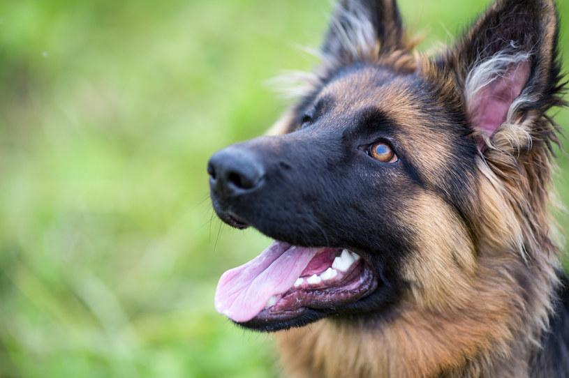 Wzrośnie podatek od posiadania psa /123RF/PICSEL