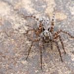 Wzrost liczebności arktycznych pająków w odpowiedzi na globalne ocieplenie