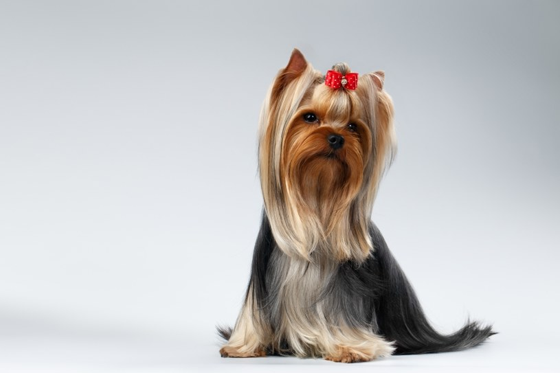 Yorkshire Terrier Dog /©123RF/PICSEL